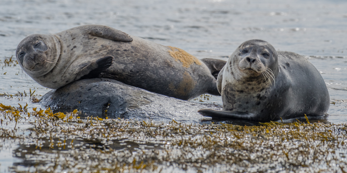Image of seals in North Wales