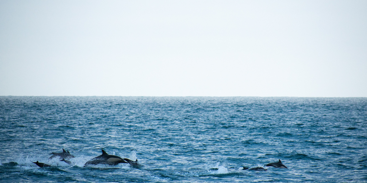 Image of dolphins in Bangor North Wales