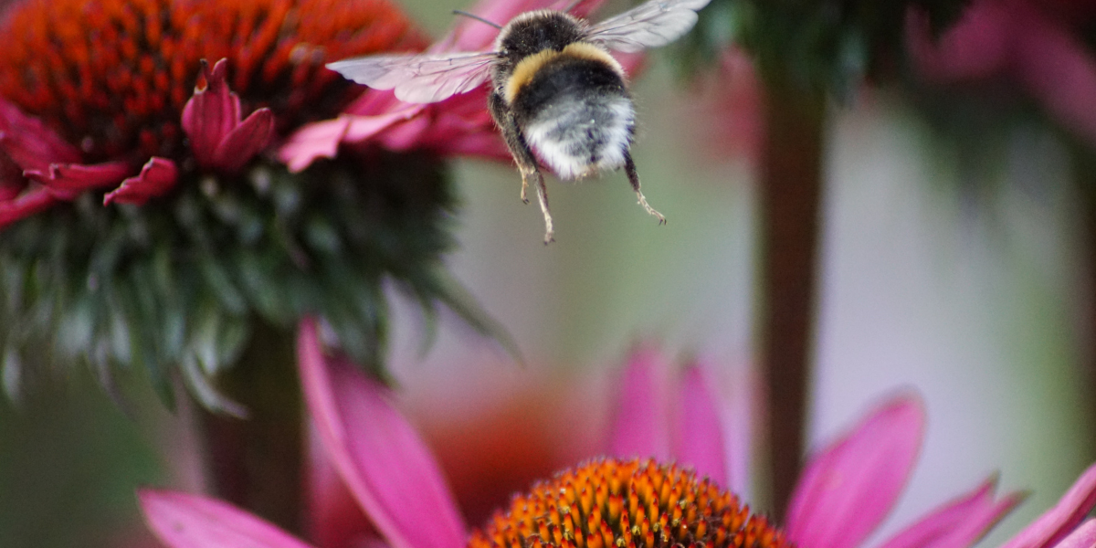 Image of a bee flying above pink flower